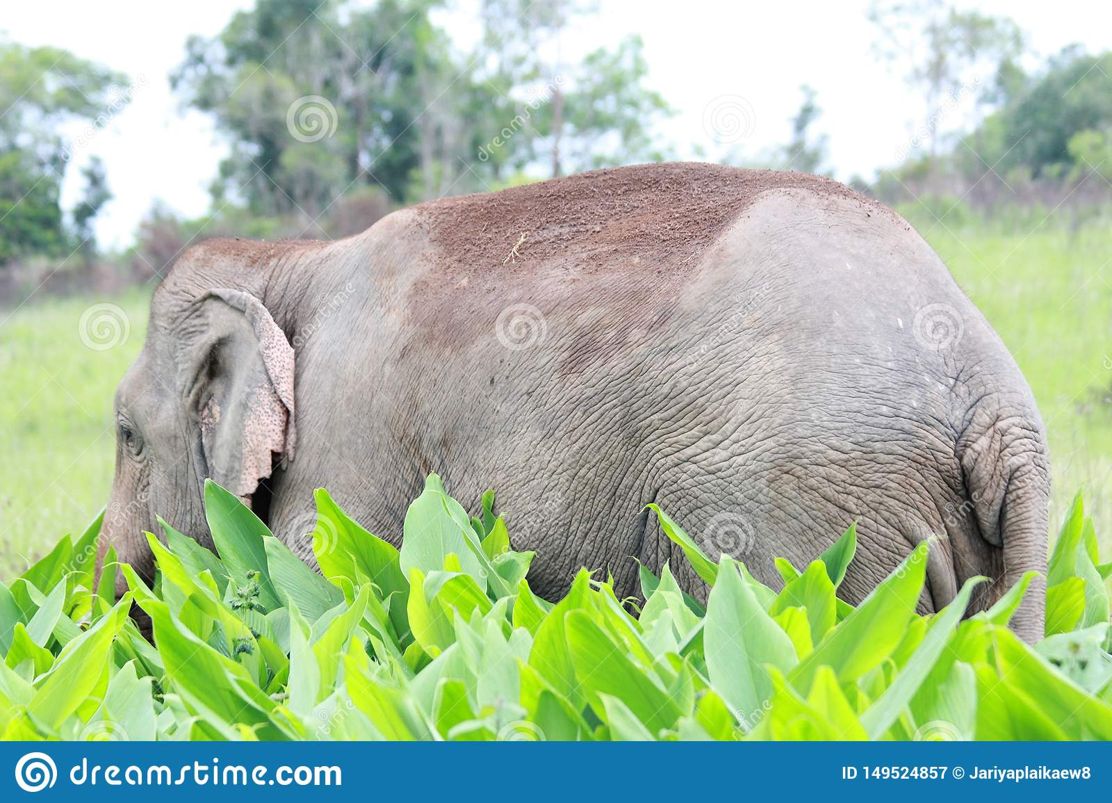 A male elephant standing in the field