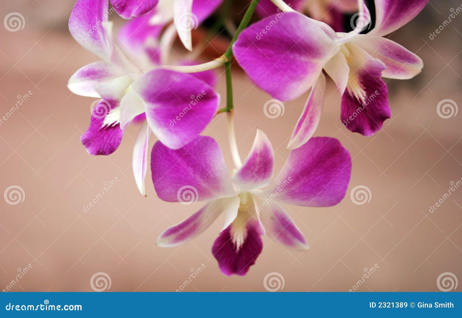 freee orkide thai
