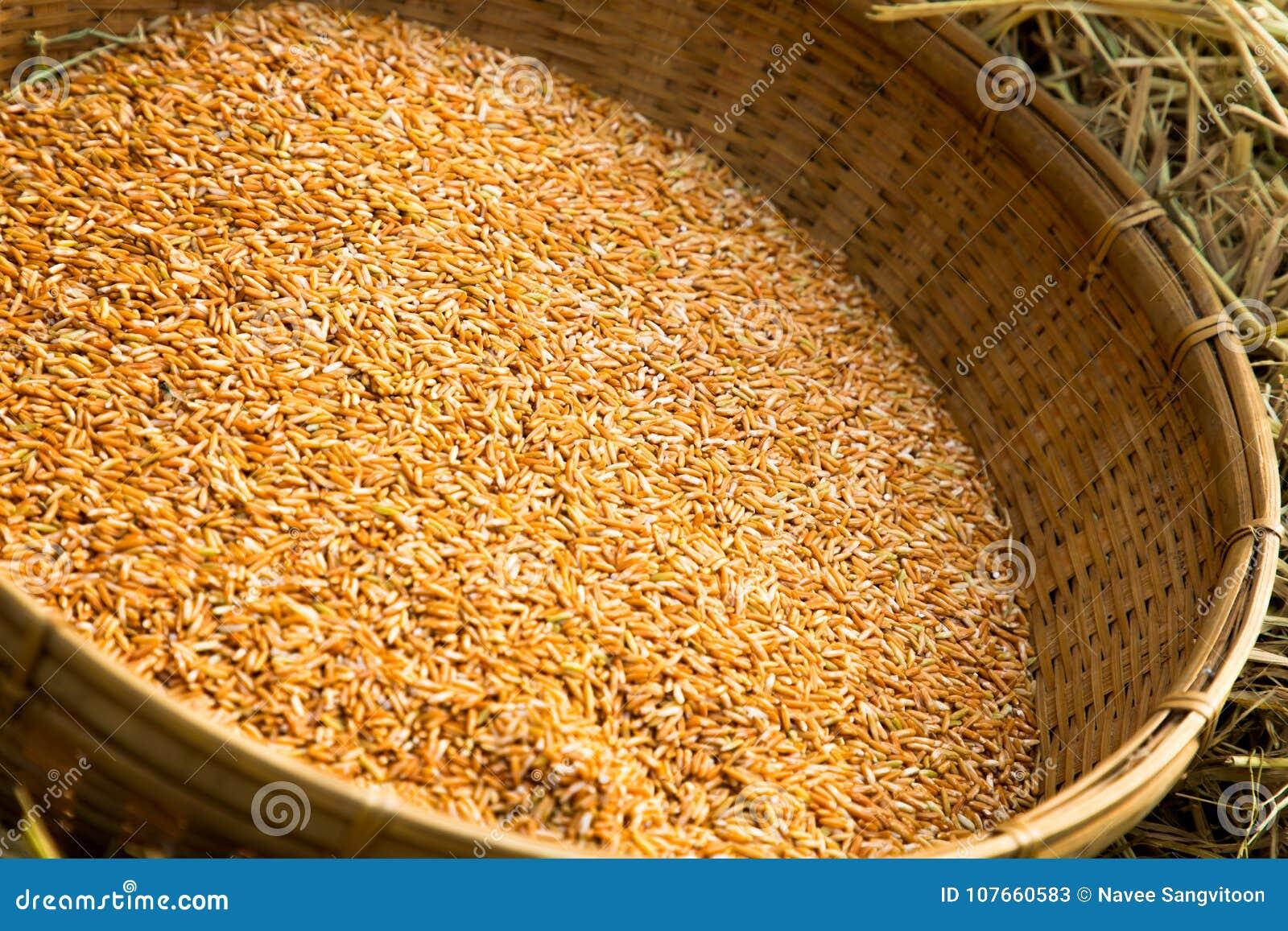 Thai organic red jasmine stock image. Image of grains