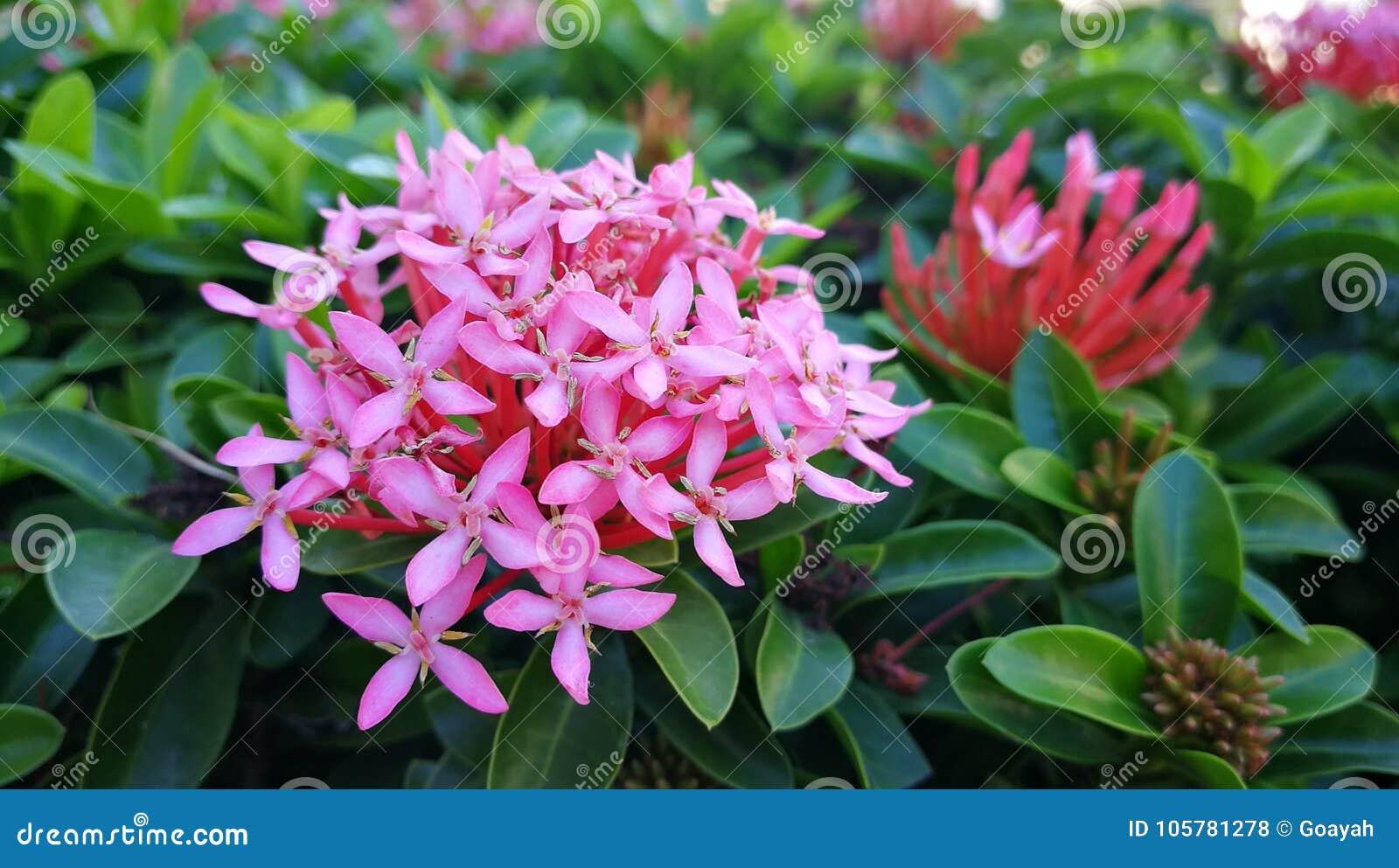 Spike Flower Stock Photo Image Of Thai Flower Pink 105781278