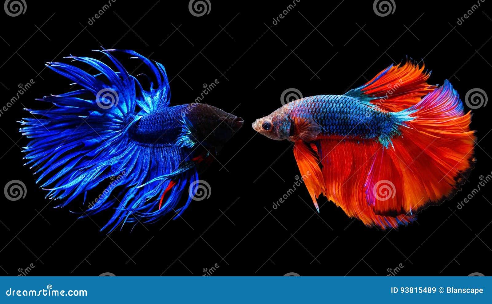 Thai siamese betta fighting fish stock photo image 93815489 for Battle fish 2