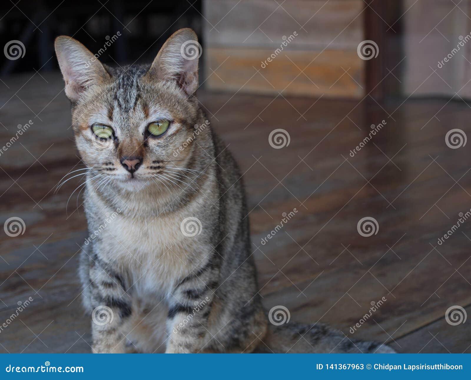 Thai weinig jonge kattenzitting op de houten vloer