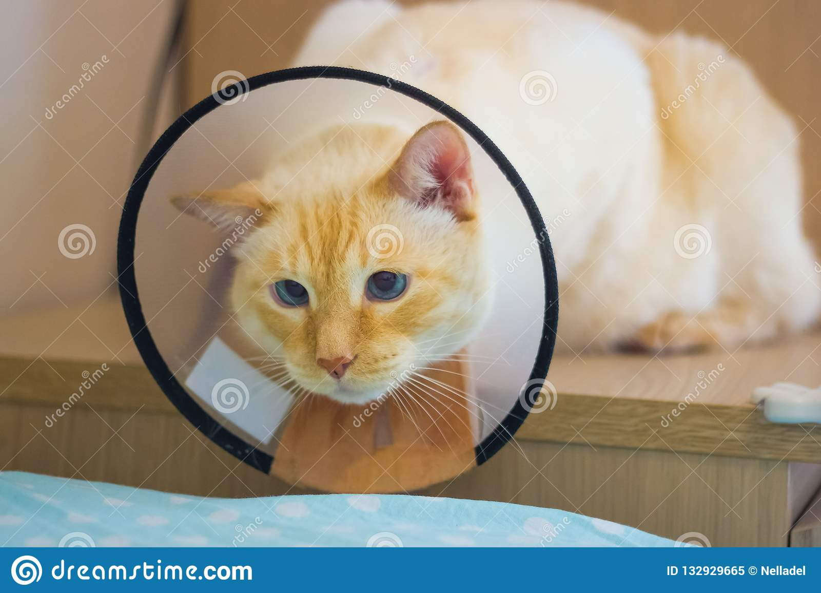 Thai White Red Marks Cat Wearing Cone Collar Stock
