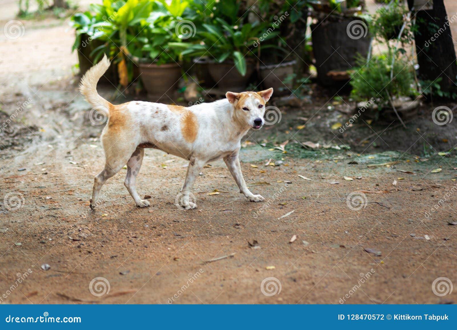 Thailändischer Gene Dog
