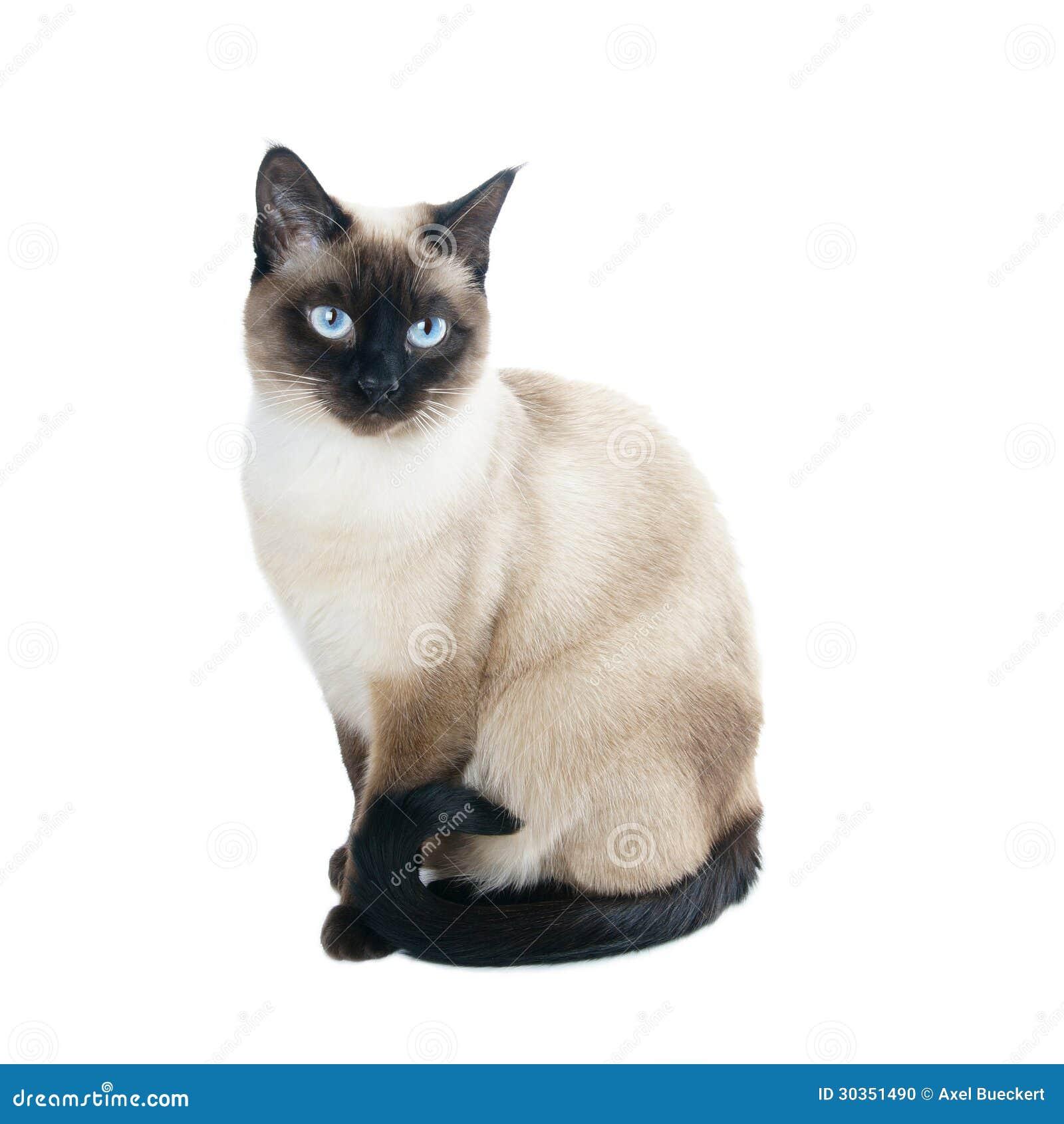 Thailändsk eller siamese katt