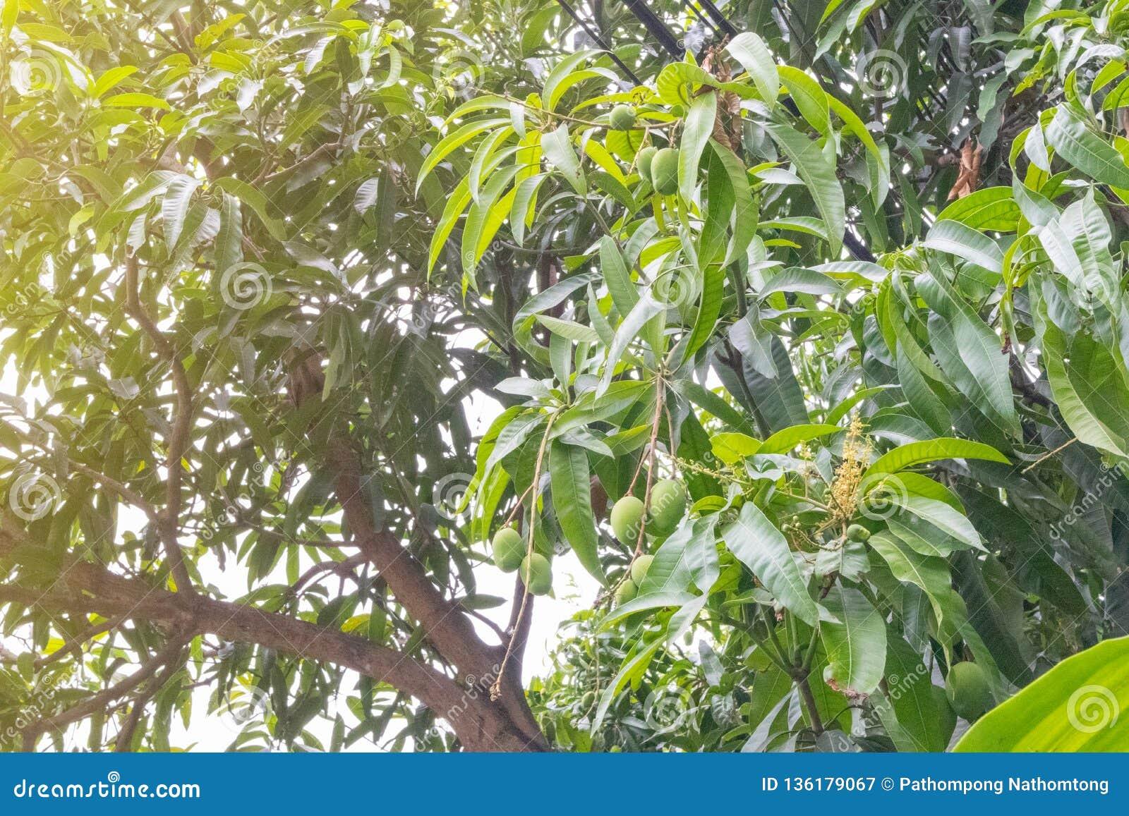 Thailändsk grön mycket liten mango på träd