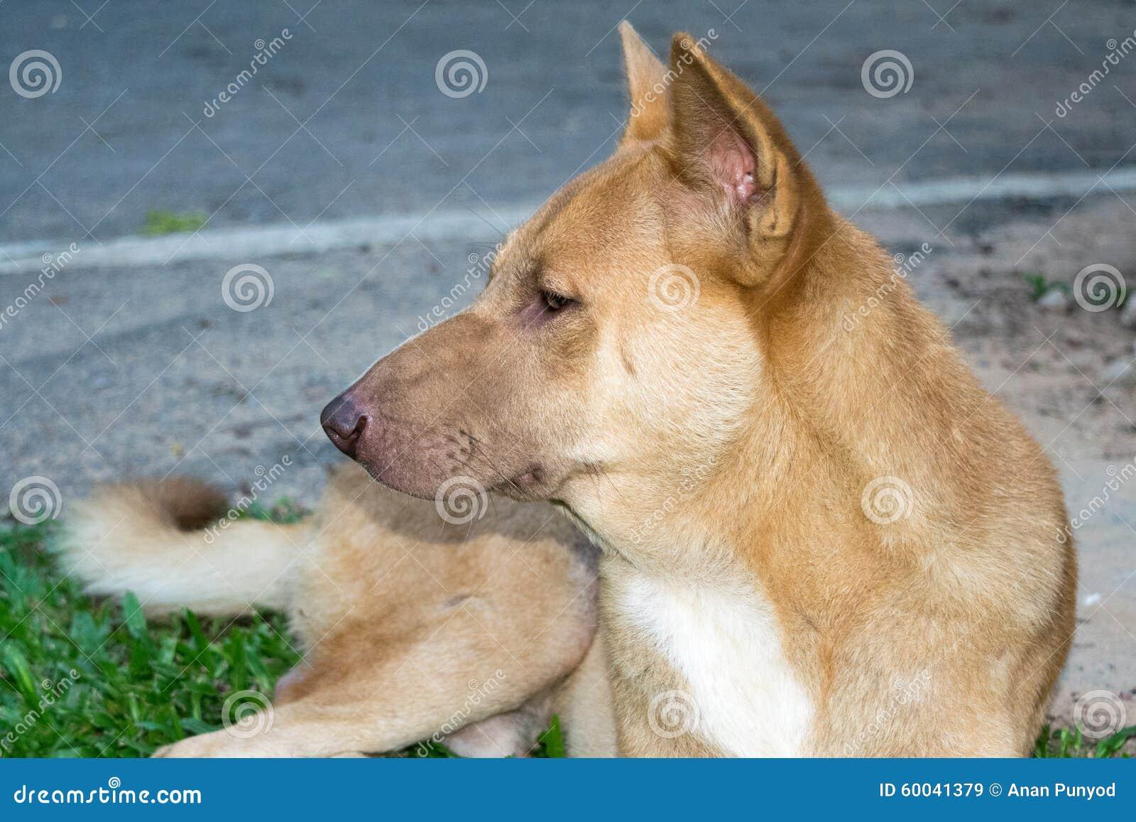 Thailändsk hund (den ser från sidan - mannen),