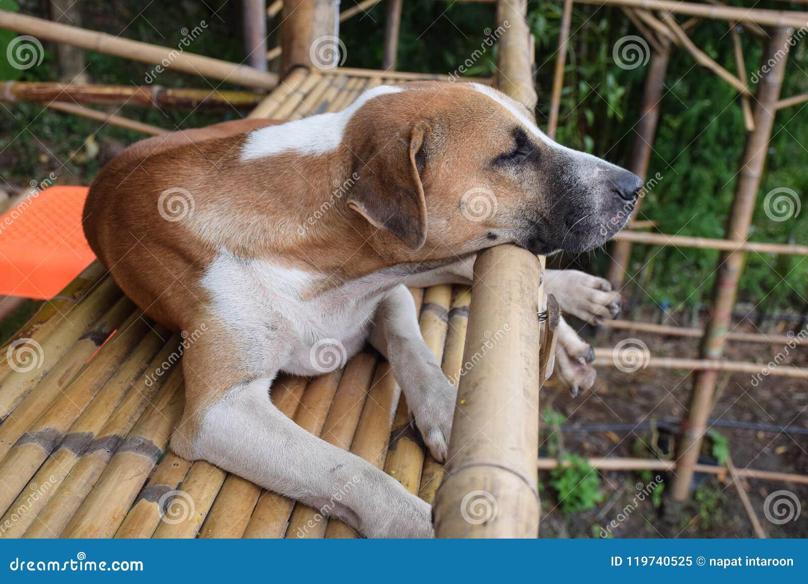 Thailändskt brunt hundsammanträde på en bambubalkong