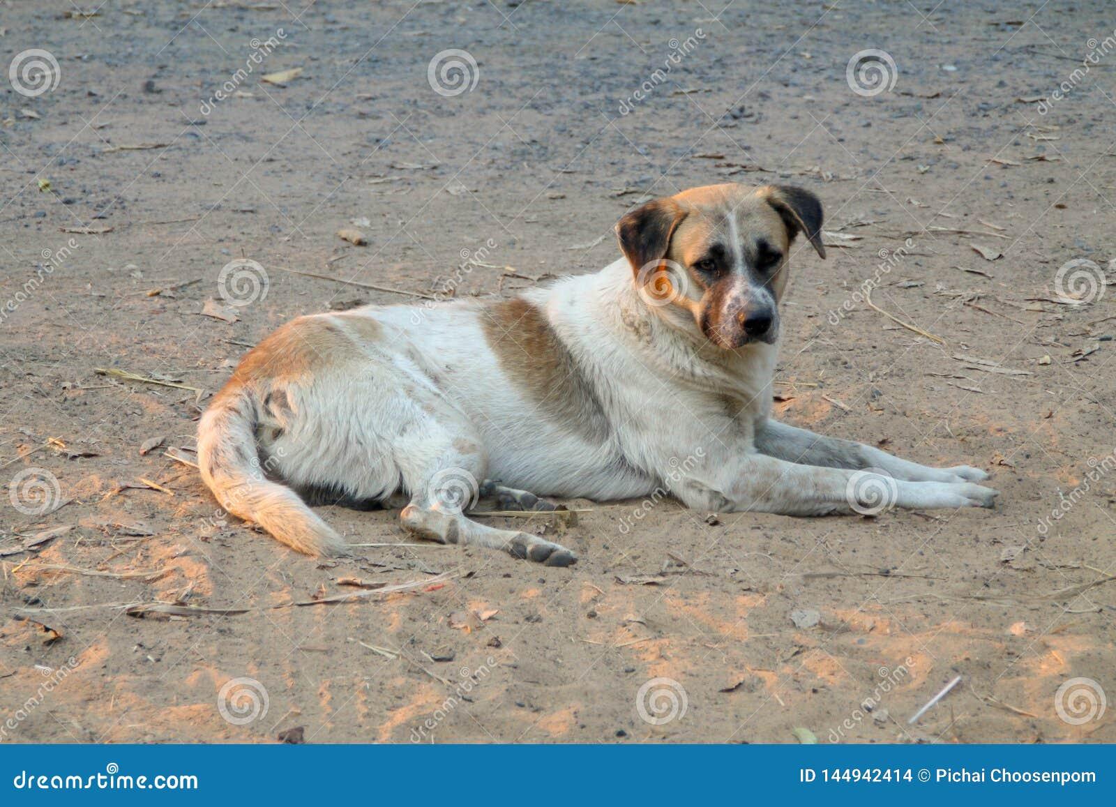 Thail?ndischer lokaler Hund, der Hund sucht einen lokalen Eigent?mer wird gegangen lang mit den traurigen Augen