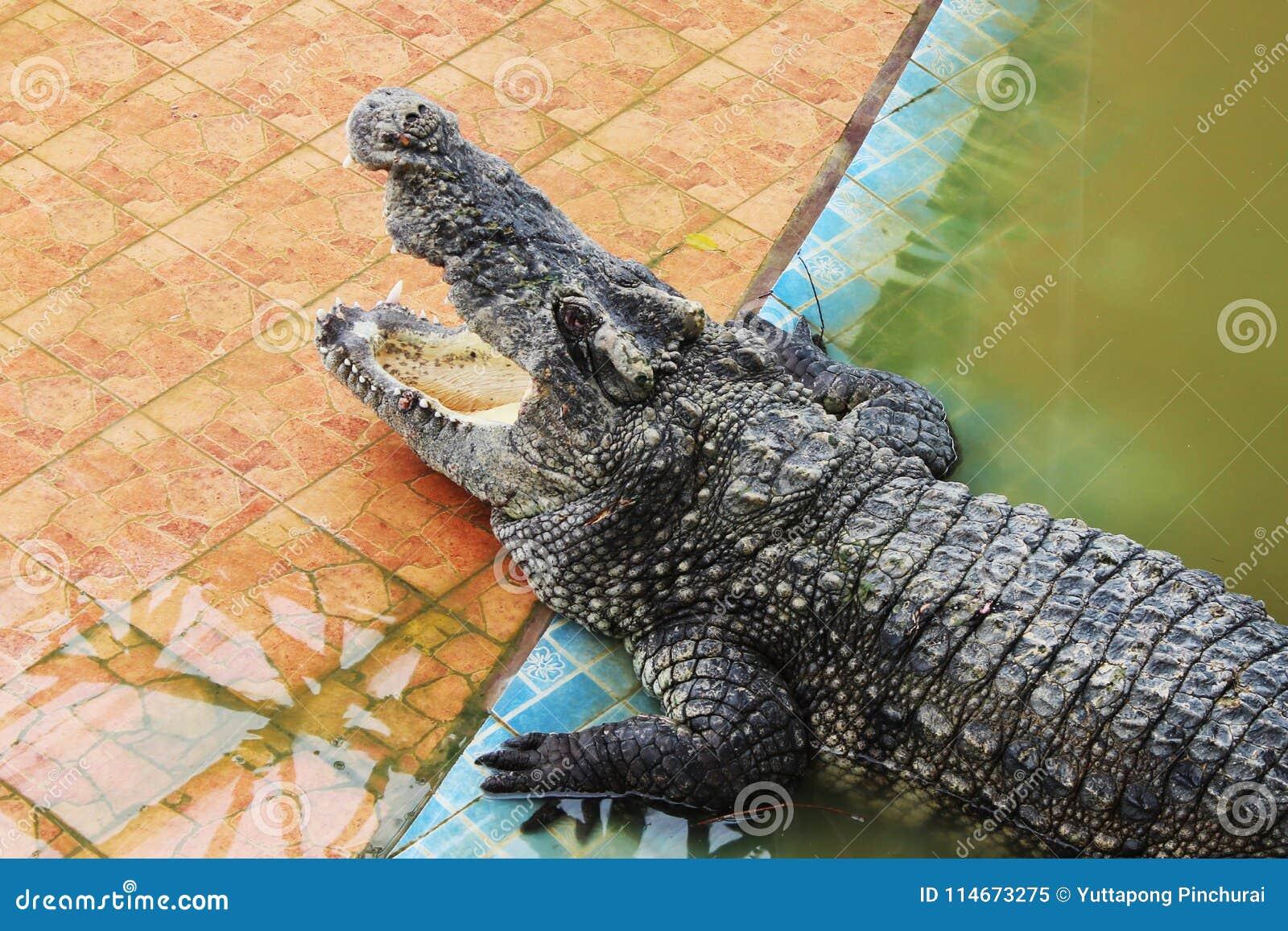 Thailand för stor krokodil för område stor zoo Thailand krokodil askfat Sötvattens- krokodil