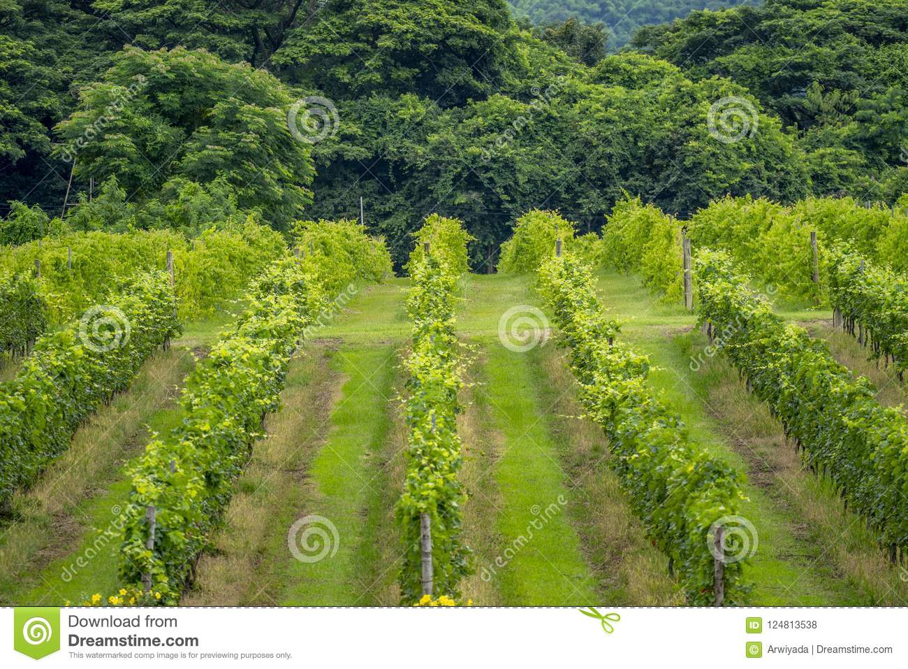 Thailand vineyards on the mountains in summer.