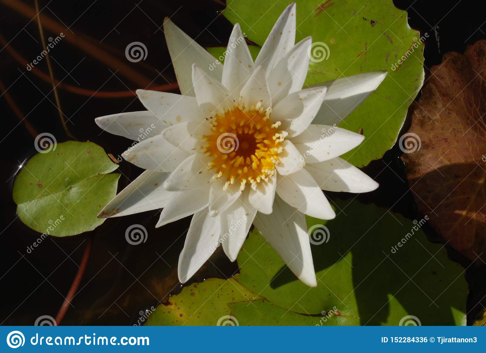 Thailand lotus of freshness, beautiful, happy