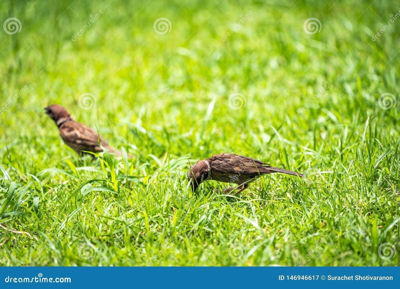 Thailand weinig bruine musvogel in graden en parkeert