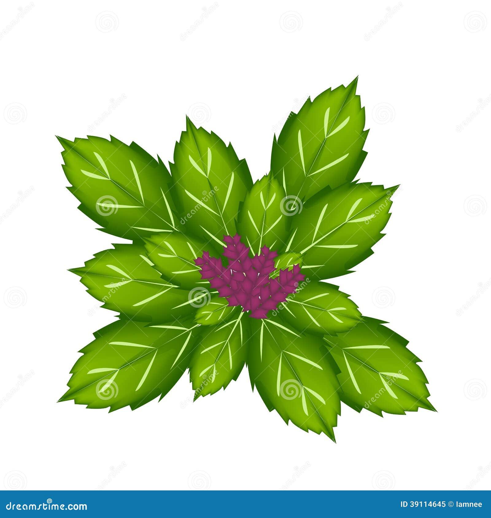 Thais Basil Plant op Witte Achtergrond