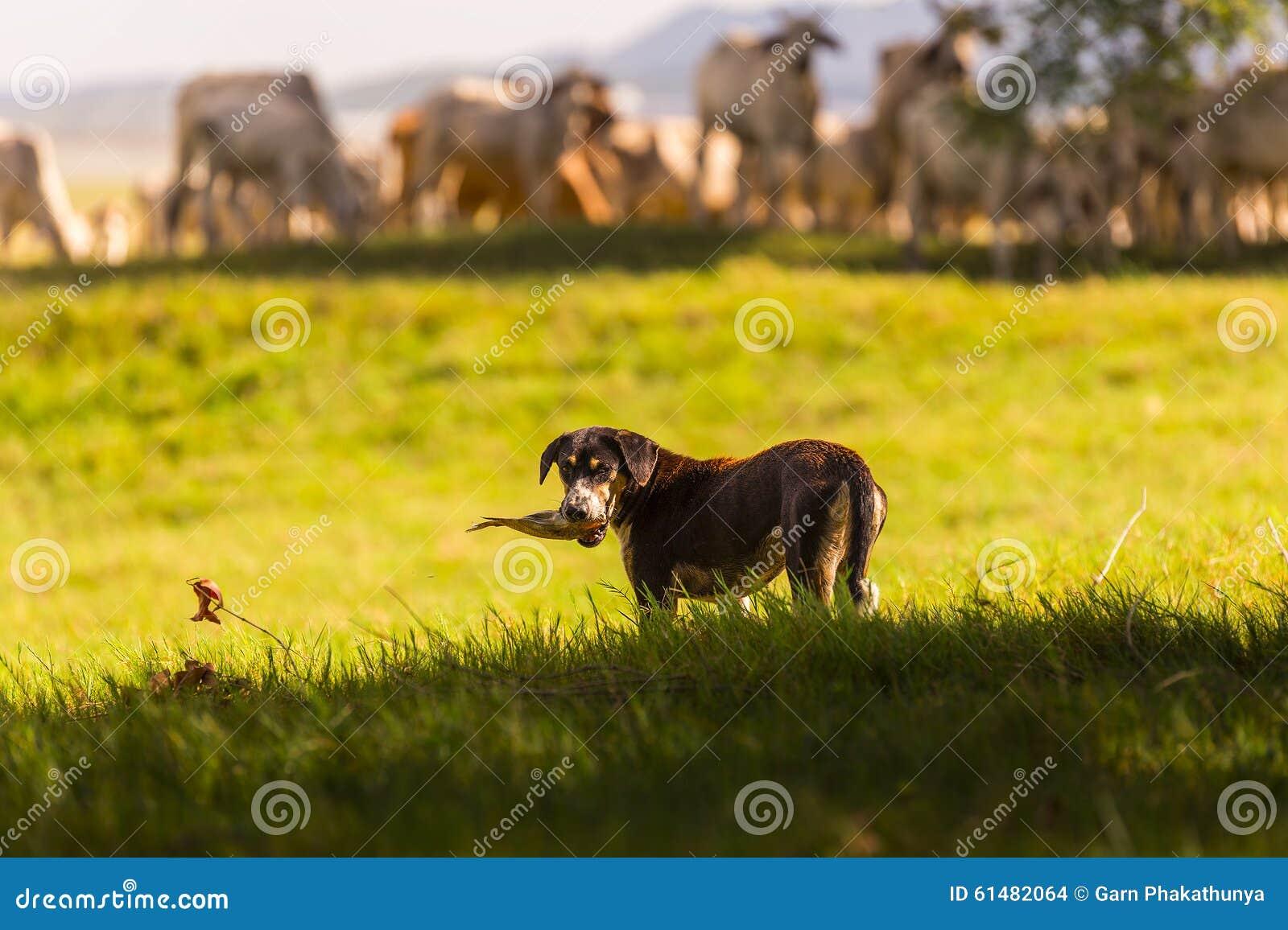 Thaise herdershond met kudde van koe op aardachtergrond De Thaise Hond is