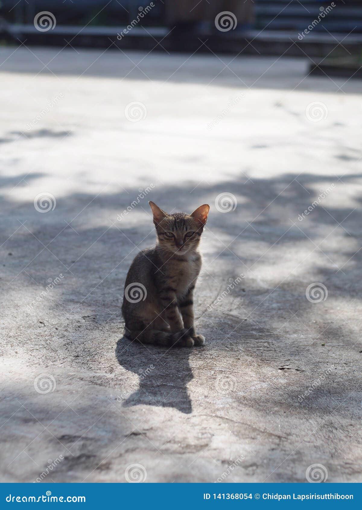Thaise kat die op de concrete vloer met zonlicht vastklampen zich te zitten Ochtend van de dag