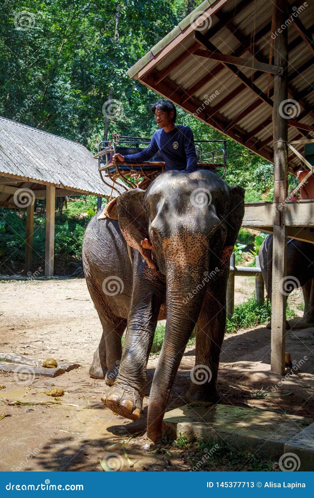 Thaise olifant met de bosachtergrond De Thaise olifanten worden ingedeeld als Indische olifanten