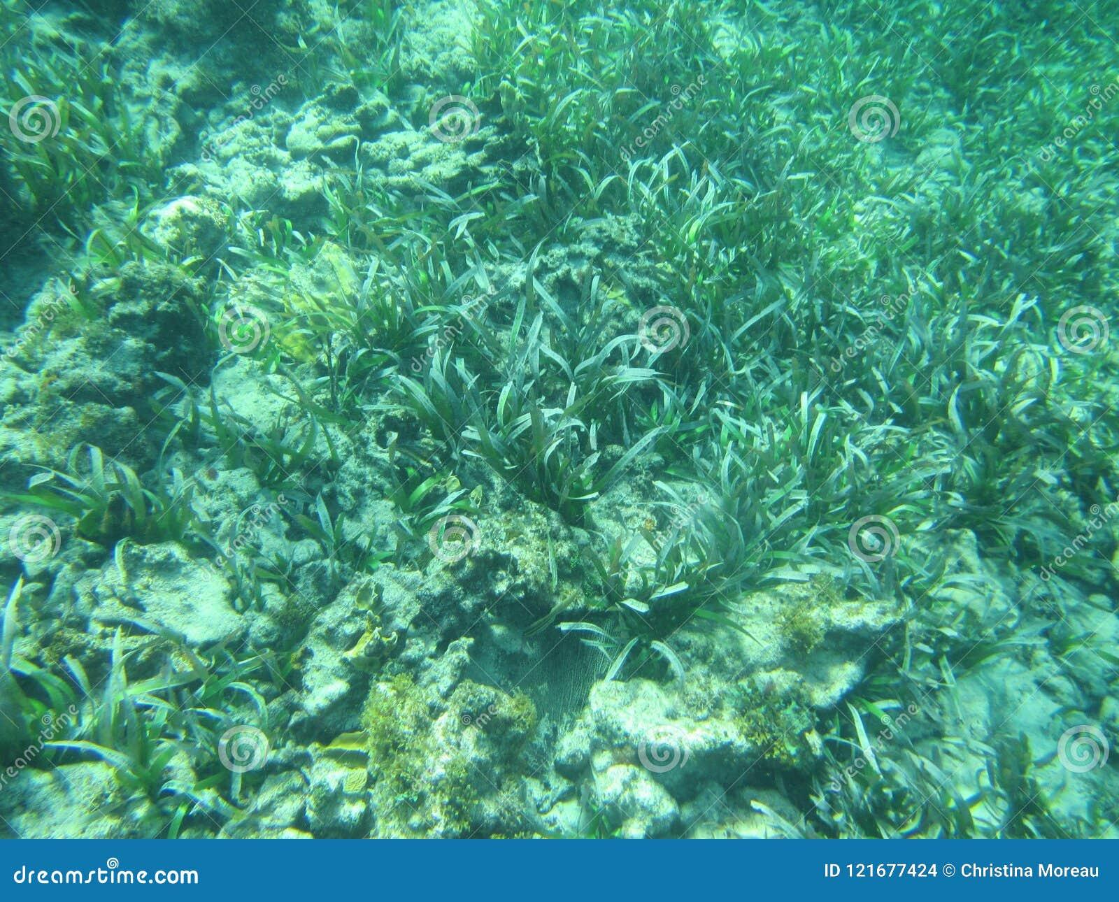 Thalassia testudinum żółwia żołnierza piechoty morskiej i trawy seagrass łóżka