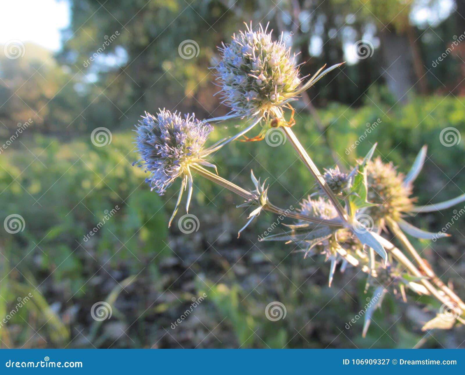 Thee kwiat jak sammer marzy