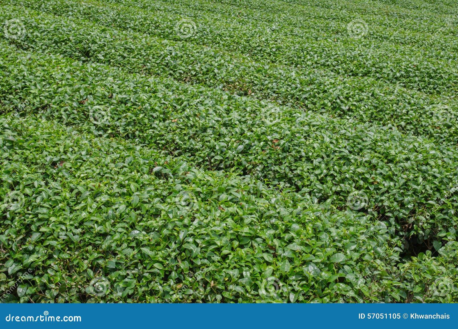 Theeaanplantingen
