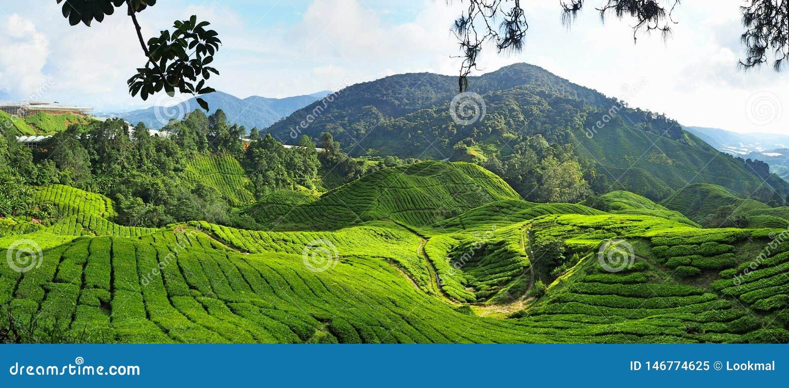 Theeinstallatie in Cameron Highlands in Maleisië
