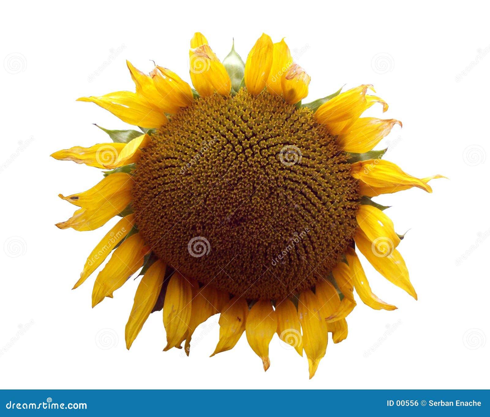 Thema 1 van de zonnebloem
