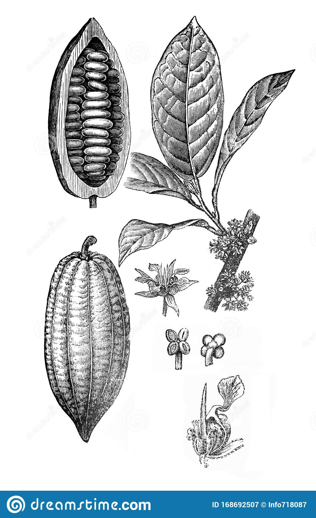 Theobroma Cacao Cacao Tree Cocoa Tree With Fruits A Vintage Illustration From Brockhaus Konversations Lexikon 1908 Stock Illustration Illustration Of Food Farmers 168692507