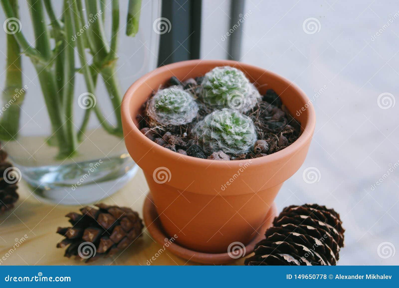 Plant cactus in a pot