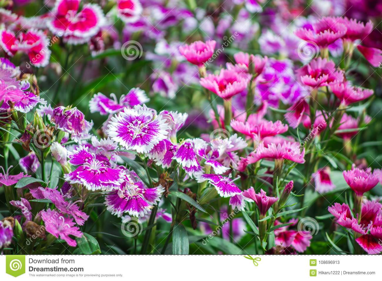 Dianthus Flower Are Blooming In The Garden Stock Image Image Of