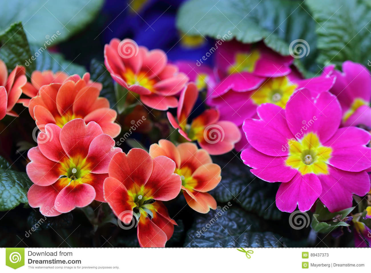 There Are Many Types And Colors Of Primula Flowers Stock Image ...