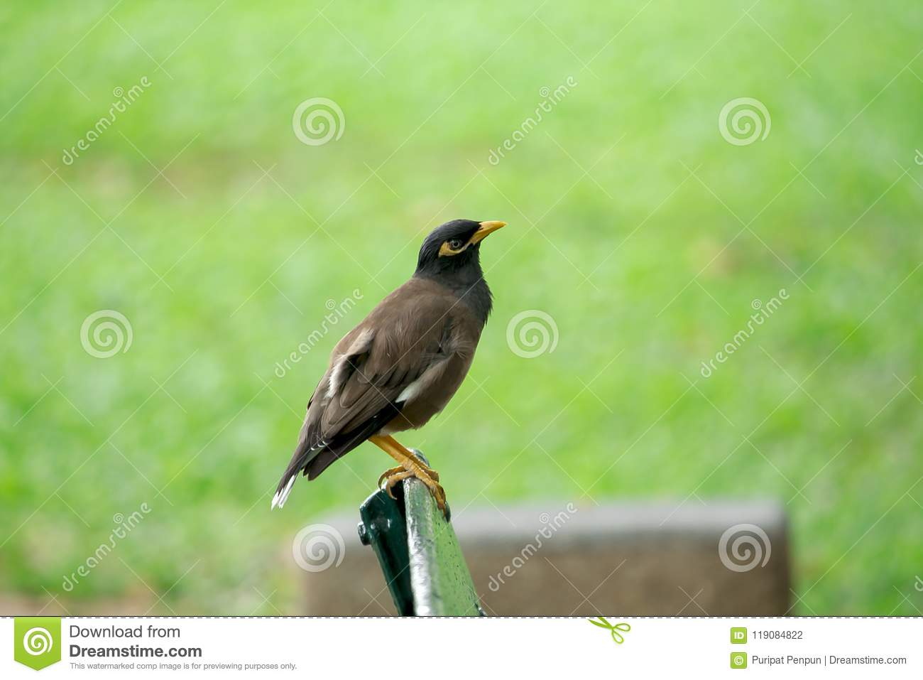 Mynas is on a chair in the park.
