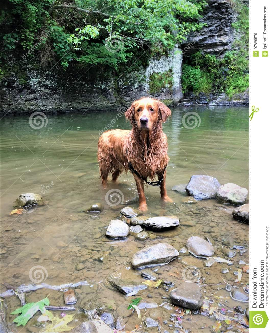 Golden Rottweiler After Swimming Lake Waterfall Stock Image Image