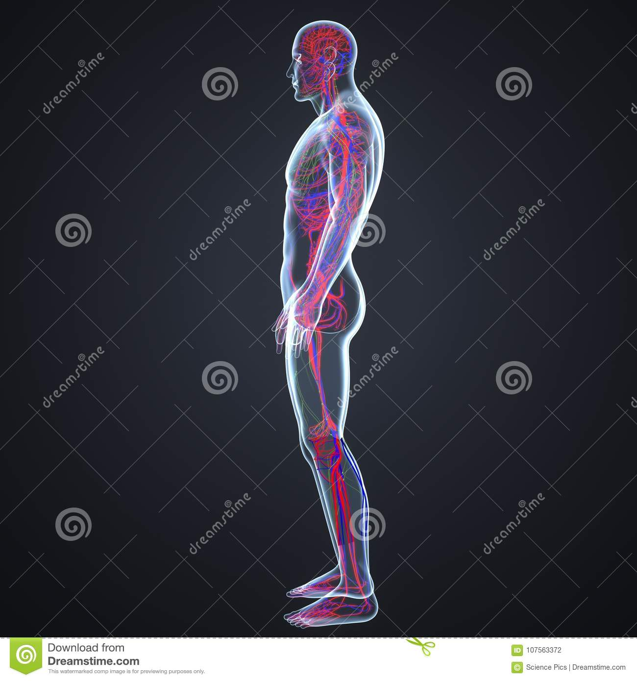 Arteries, Veins And Lymph Nodes In Human Body Lateral View