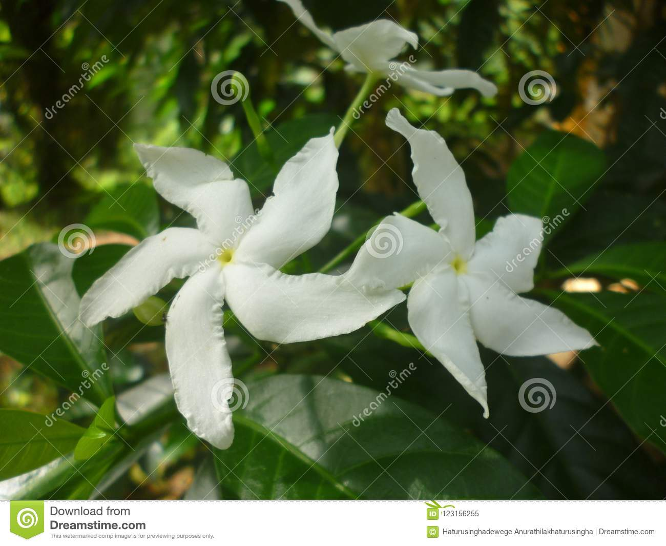 There are wathusudda flower stock image image of flower there are wathusudda flower in garden and jungle the flower is white colourese flowers are beautiful mightylinksfo