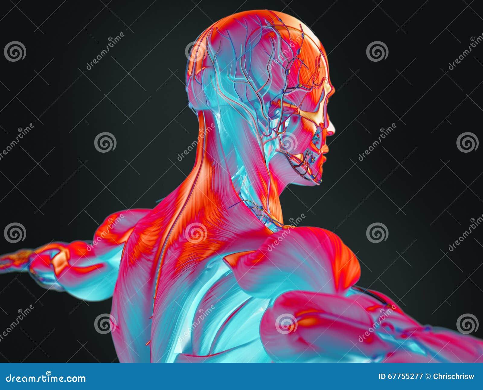 Thermische Illustration 3D Der Menschlichen Anatomie Stockbild ...