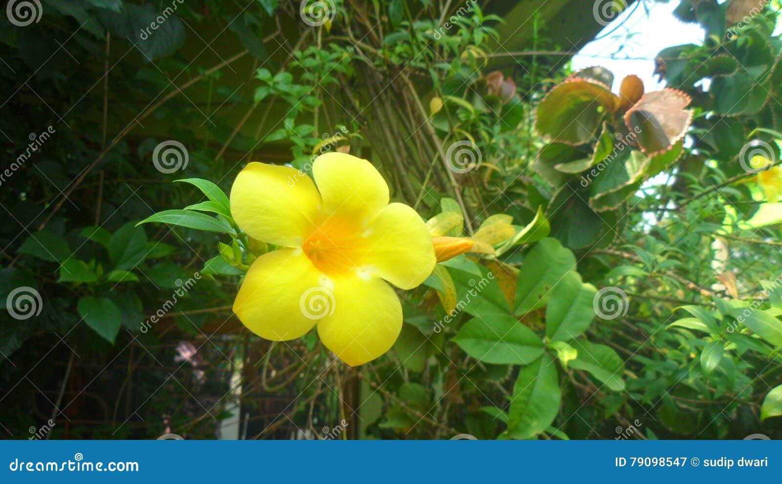 Download thevetia peruviana