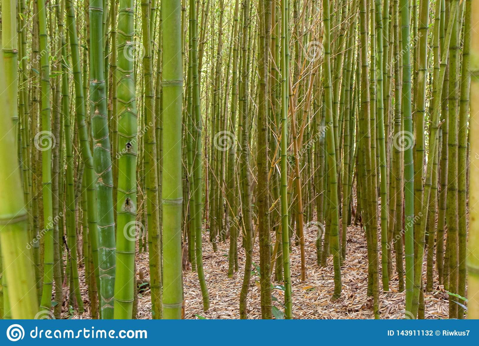 Thick bamboo thickets close up
