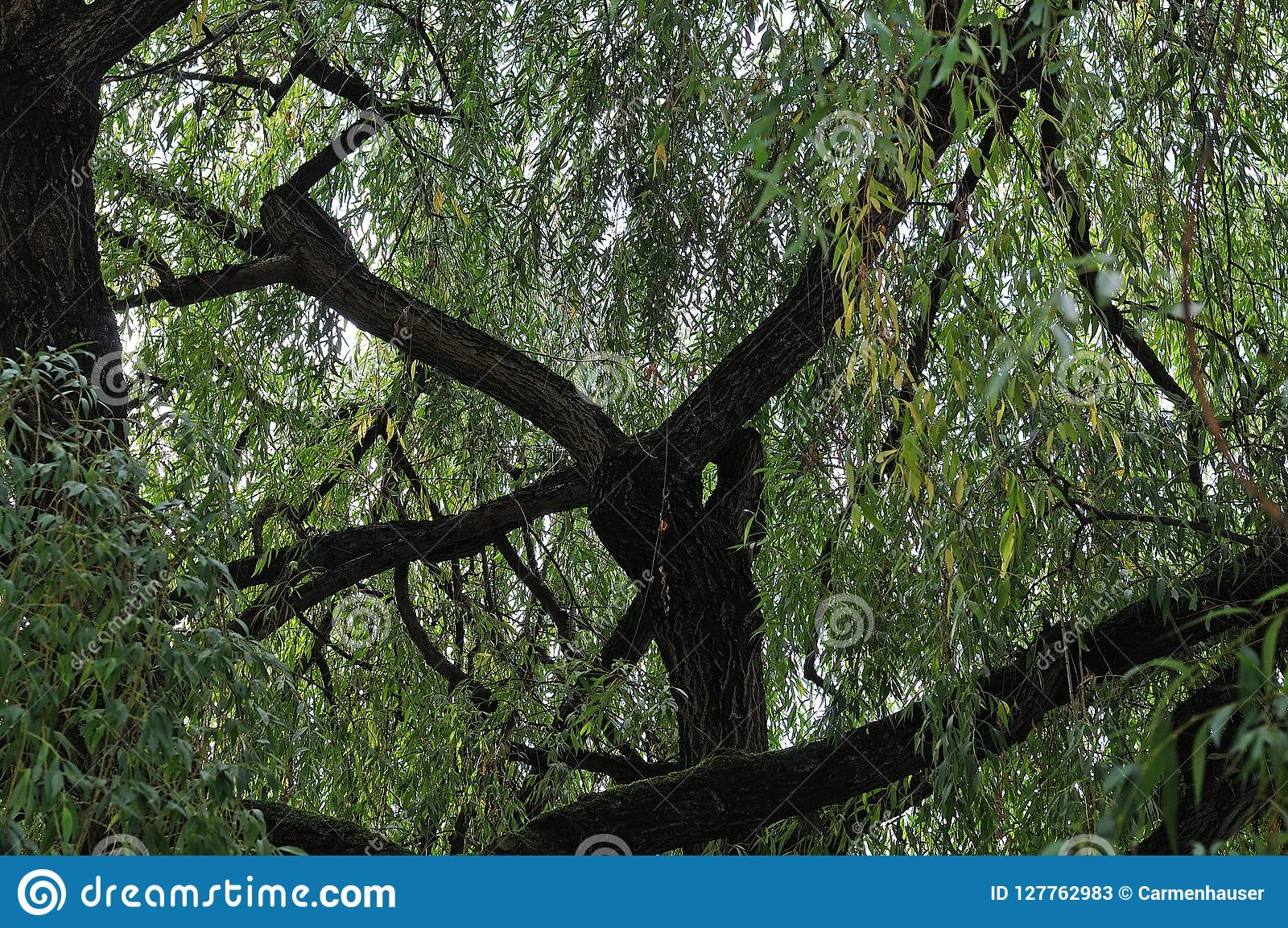 Thick branches of an old weeping willow tree