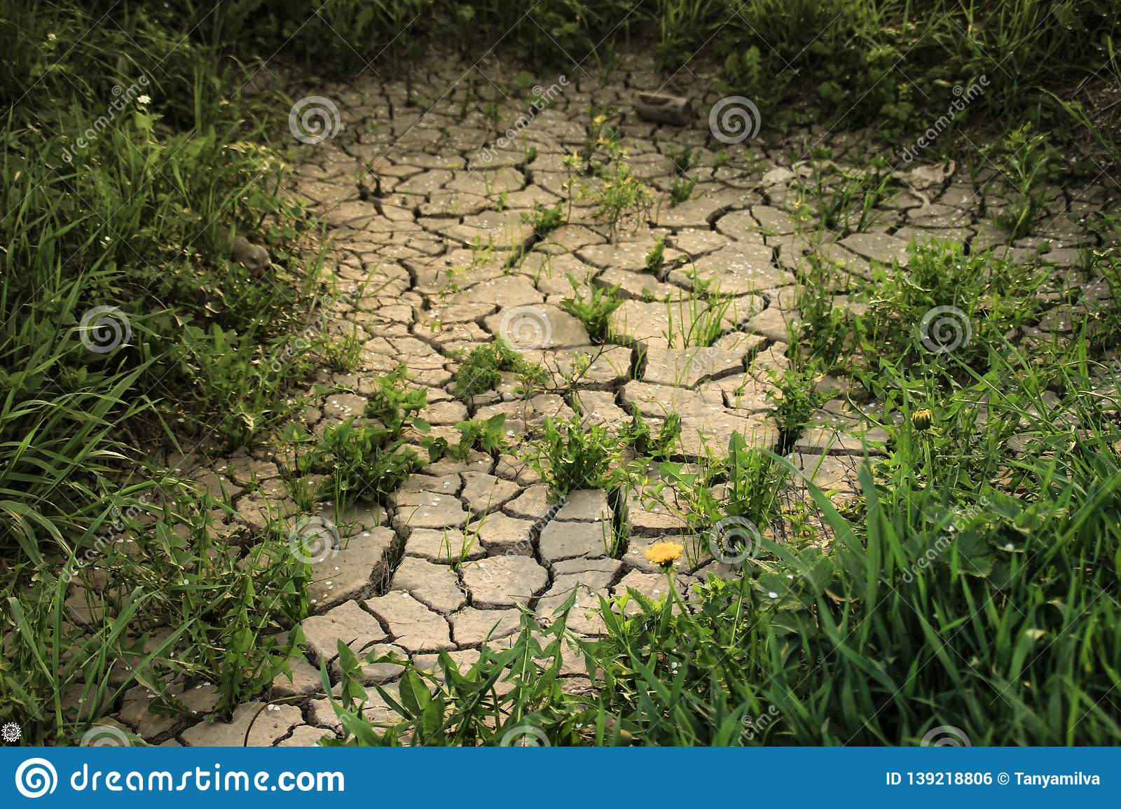Thick green grass grows among dry cracked earth