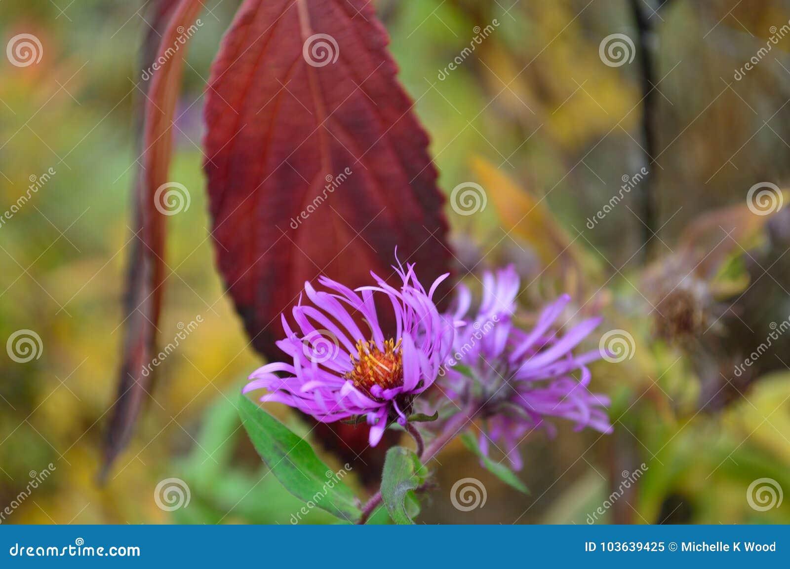 Thick stem purple aster flowers