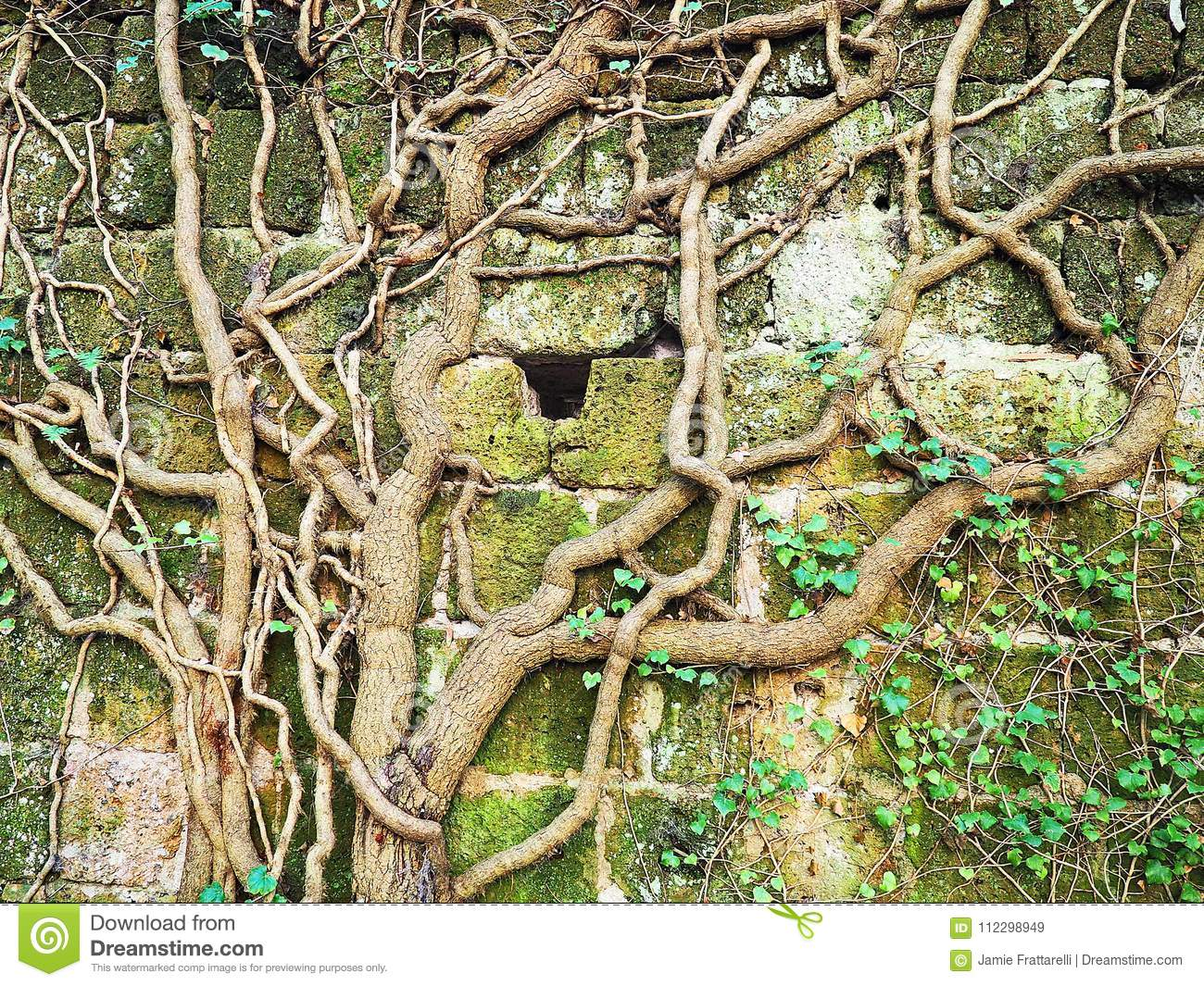 Thick Vines Grow On An Ancient Ruined Wall Stock Image