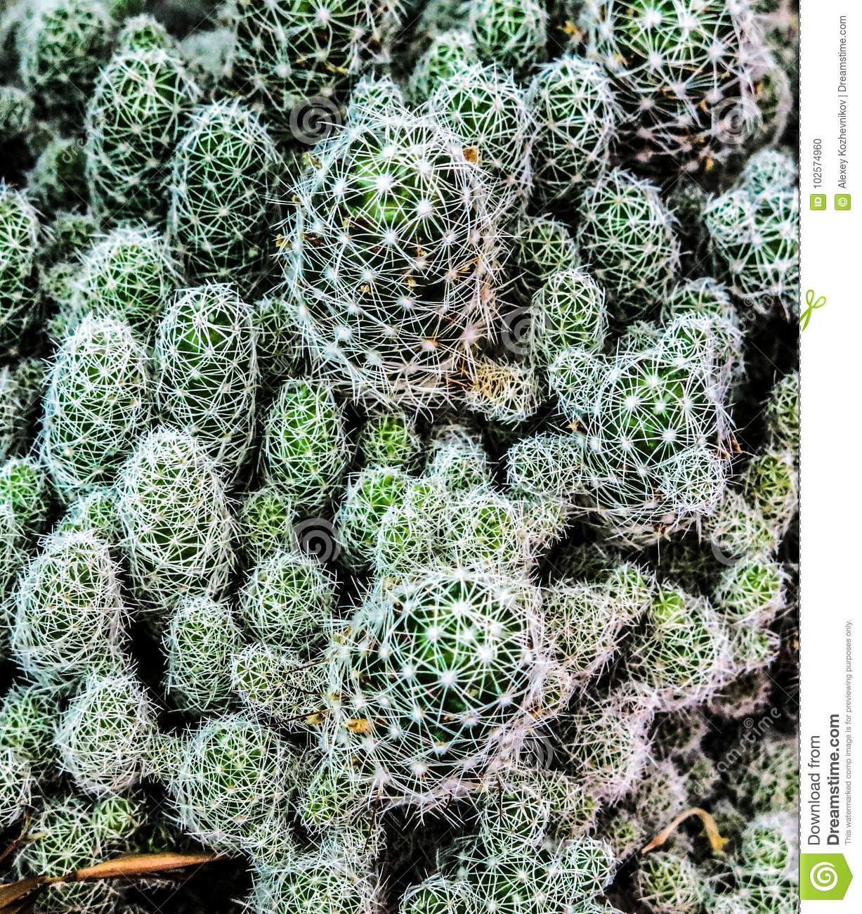 A thicket of cactus