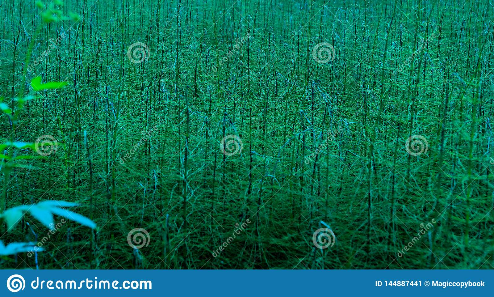 Thickets of green horsetailn