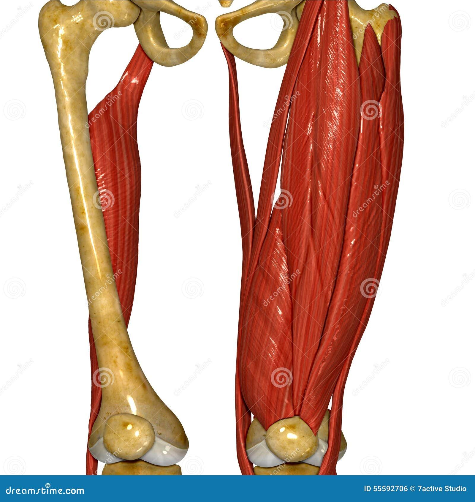 Thigh Muscle stock illustration. Illustration of pelvis - 55592706
