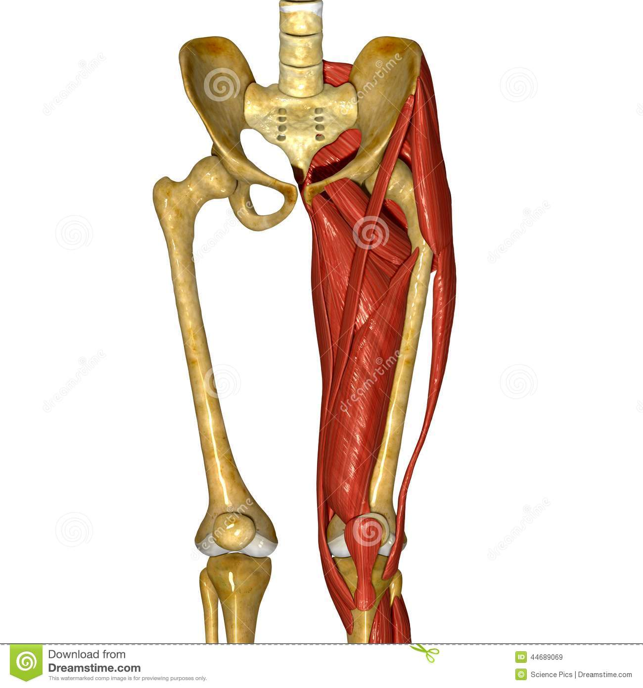 Thigh Muscles Stock Illustration Illustration Of Adductor 44689069