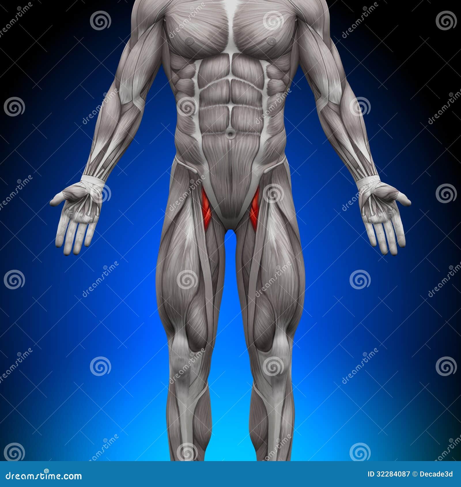 Thighs - Anatomy Muscles stock illustration. Illustration of ...