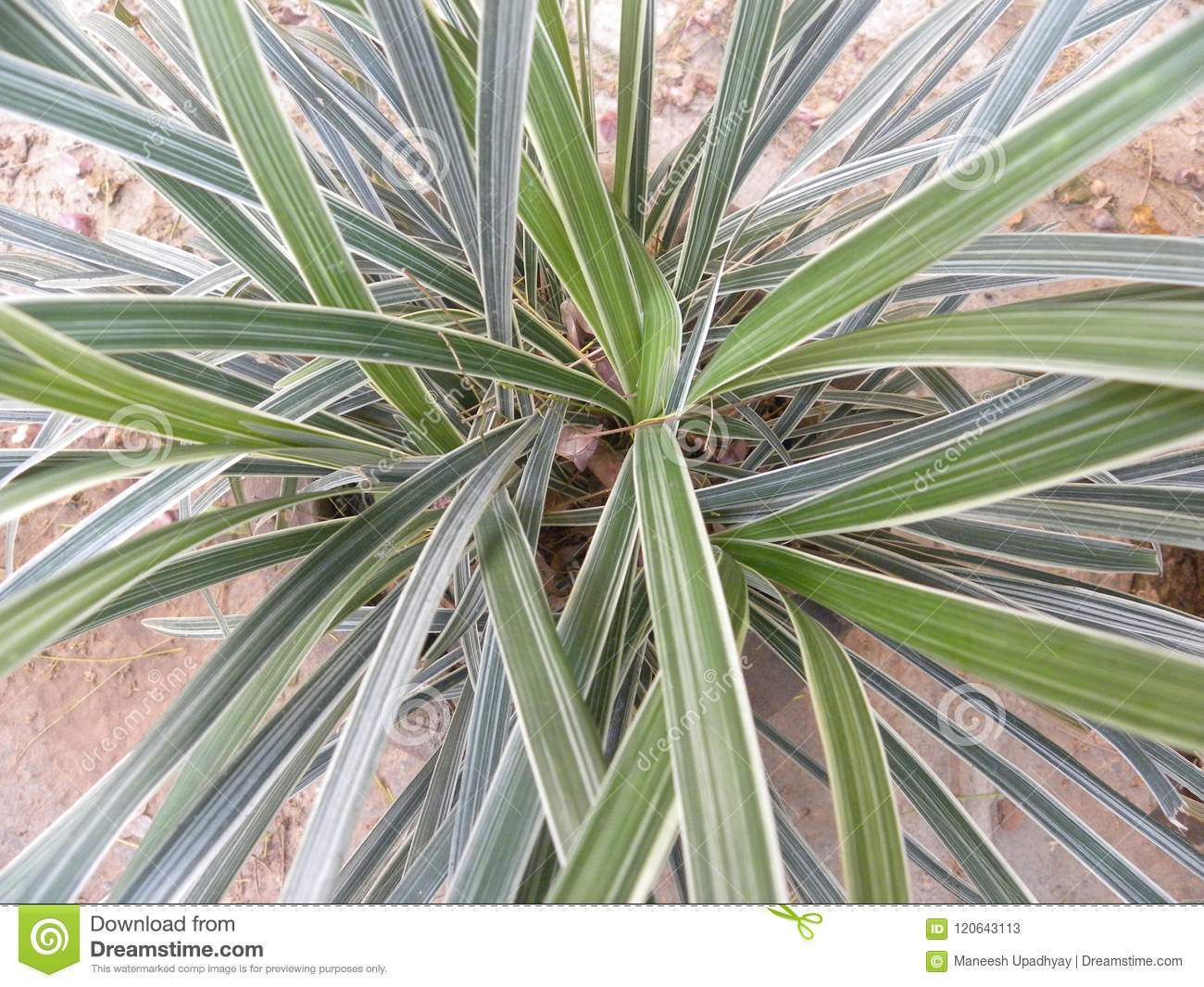 Thin Green And Yellow Leaves Of Variegated Liriope Plant Stock Image