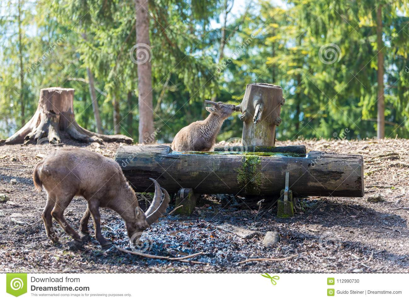 Thirsty ibex drinking water