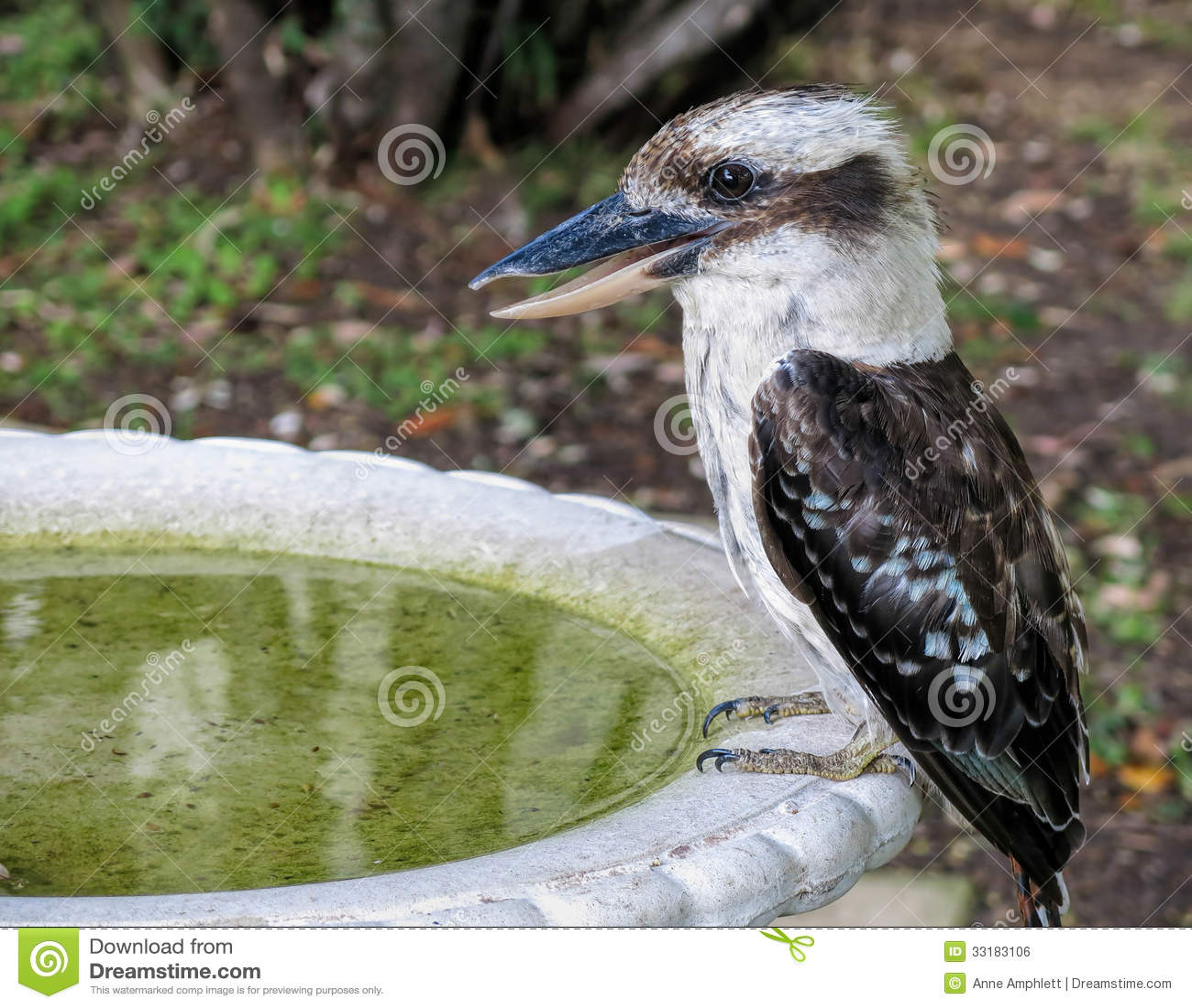 Thirsty Kookaburra