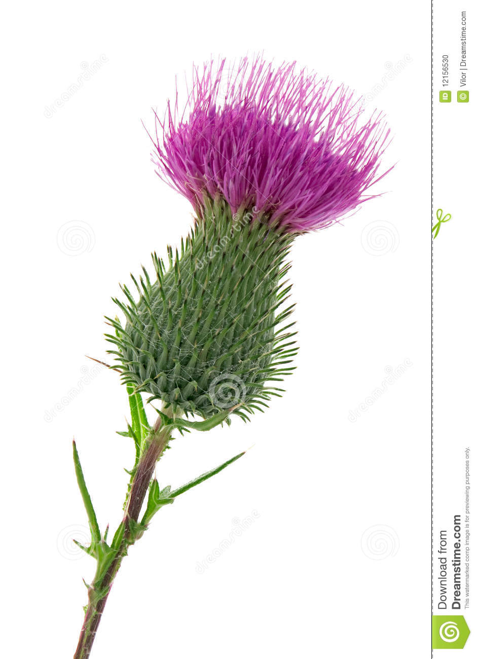 Studio Shot of Thistle Isolated on White Background. National Emblem ...